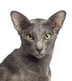 Close-up of an Oriental Shorthair Royalty Free Stock Image