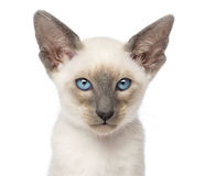 Close-up of an Oriental Shorthair kitten Stock Photo