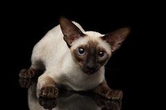 Close-up Oriental Shorthair Kitty looking at camera isolated black background Royalty Free Stock Photo