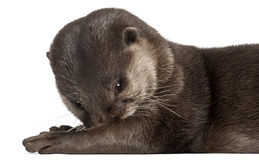 Close-up of Oriental small-clawed otter Stock Photo