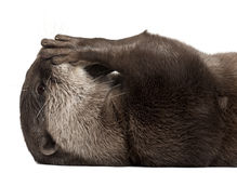 Close-up of Oriental small-clawed otter Royalty Free Stock Photography