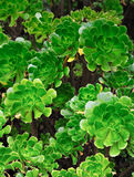 Close up of an ornamental Aeonium - succulent Royalty Free Stock Images
