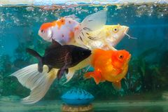 Ornamental fish. The close-up of ornamental fishes in fishbowl Royalty Free Stock Photography