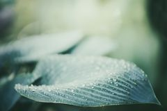 Close up of ornamental Hosta plant leaf. With water drops, outdoor nature background stock images