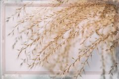 Close-up of ornamental soft Feather Grass similar to Stipa, Needle Grass, Nassella tenuissima. Concept mildness Royalty Free Stock Images