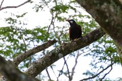 Oropendola in Costa Rica Royalty Free Stock Images