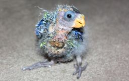 Close up of orphaned baby Australian Rosella Royalty Free Stock Images
