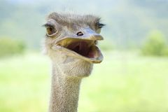 Close up of ostrich Royalty Free Stock Photo