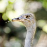 Close up Ostrich Royalty Free Stock Photos