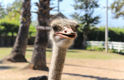 Close up of ostrich. In the farm Royalty Free Stock Images