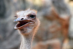 Close-up ostrich head royalty free stock photography