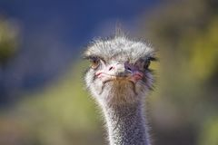 Close up of Ostrich head on royalty free stock images