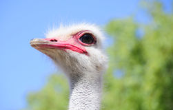 Close up of an ostrich head Royalty Free Stock Photo