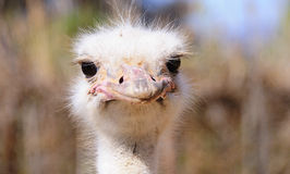 Close up of an ostrich head Royalty Free Stock Photography