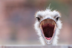 Close up of ostrich head. An ostrich with wide open beak, looking surprised Stock Photography