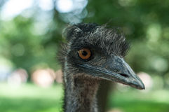 Close up of ostrich head Royalty Free Stock Photos