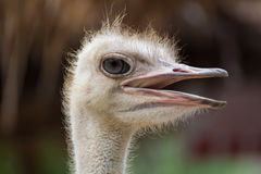 Close up of ostrich Royalty Free Stock Images