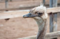A close-up of an ostrich. The largest flightless bird. A close-up of an ostrich. The largest flightless bird Stock Image