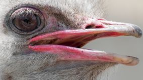 A close-up of an ostrich. The largest flightless bird. A close-up of an ostrich. The largest flightless bird Stock Photo