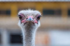 A close-up of an ostrich. The largest flightless bird. A close-up of an ostrich. The largest flightless bird Stock Images