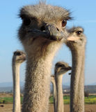 Close-up ostrich looking into the camera Royalty Free Stock Image