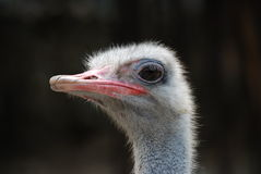 Close up of ostrich Stock Photos