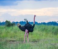Close up of an ostrich`s long neck royalty free stock photos