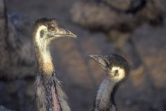 Close-up of ostriches on Ostrich farm, Oak View, CA Royalty Free Stock Photo