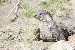 Close up of an otter coming out of the ground through a hole with an alert look royalty free stock photo