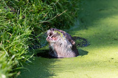 Close-up of an otter eating special food royalty free stock image