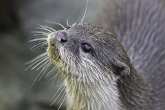 Close up of an otter face Royalty Free Stock Photo