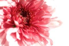 Close up ou macro em uma flor cor-de-rosa do gerbera. Fotografia de Stock Royalty Free