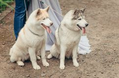 Close-up outdoor portrait of two lovely fluffy ginger and grey huskies sitting on the ground and looking away at the. Background of couple legs Royalty Free Stock Photo