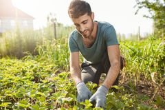 Close up outdoors portrait of mature attractive bearded male farmer in blue t-shirt smiling, working on farm, plans. Green sprouts, picking vegetables stock photo