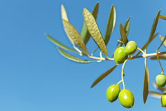 Close up outdoors shot of green olives on a branch of olive tree Royalty Free Stock Photography