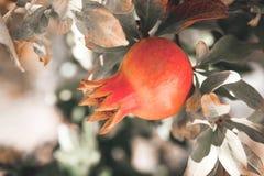 Close up outdoors shot of pomegranate ripening on a pomegranate-tree - Croatia, island Brac. Close up outdoors shot of pomegranate ripening on a pomegranate-tree Royalty Free Stock Photography