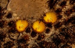 Close up over a cactus with blossoms stock photo