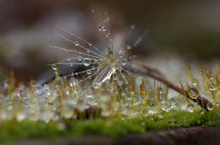 Close up with overblown dandelion, rain drops and moss.  Stock Image
