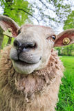 Close up Ovis aries Stock Image