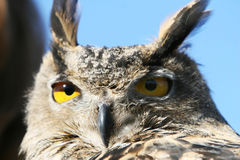 Close Up Owl Royalty Free Stock Photo