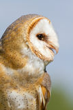 Close-up of an owl. A close-up of an owl Royalty Free Stock Photo