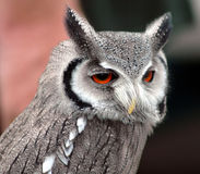 Close up of owl Stock Image