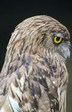 Close up of an owl. Brown owl with yellow eyes in side view Royalty Free Stock Image