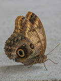 Close up on Owl Butterfly Caligo Memnon Stock Images