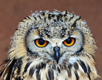Look into my eyes. Close-up of an owl chick with bright orange eyes staring at the camera Stock Images
