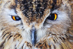 Close-up owl head Royalty Free Stock Images