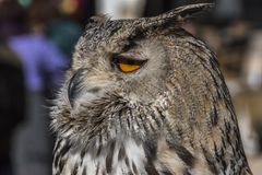 Close up view of the head of an owl. Close up owl head royalty free stock photo