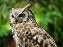 Close up on an owl looking around. Close up on an adult owl looking around royalty free stock photos
