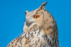 Close up from a owl. In the mountains of austria Royalty Free Stock Photography