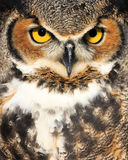 Close up of Owl. Outdoor portrait of a wild owl with it's eyes open Stock Photo